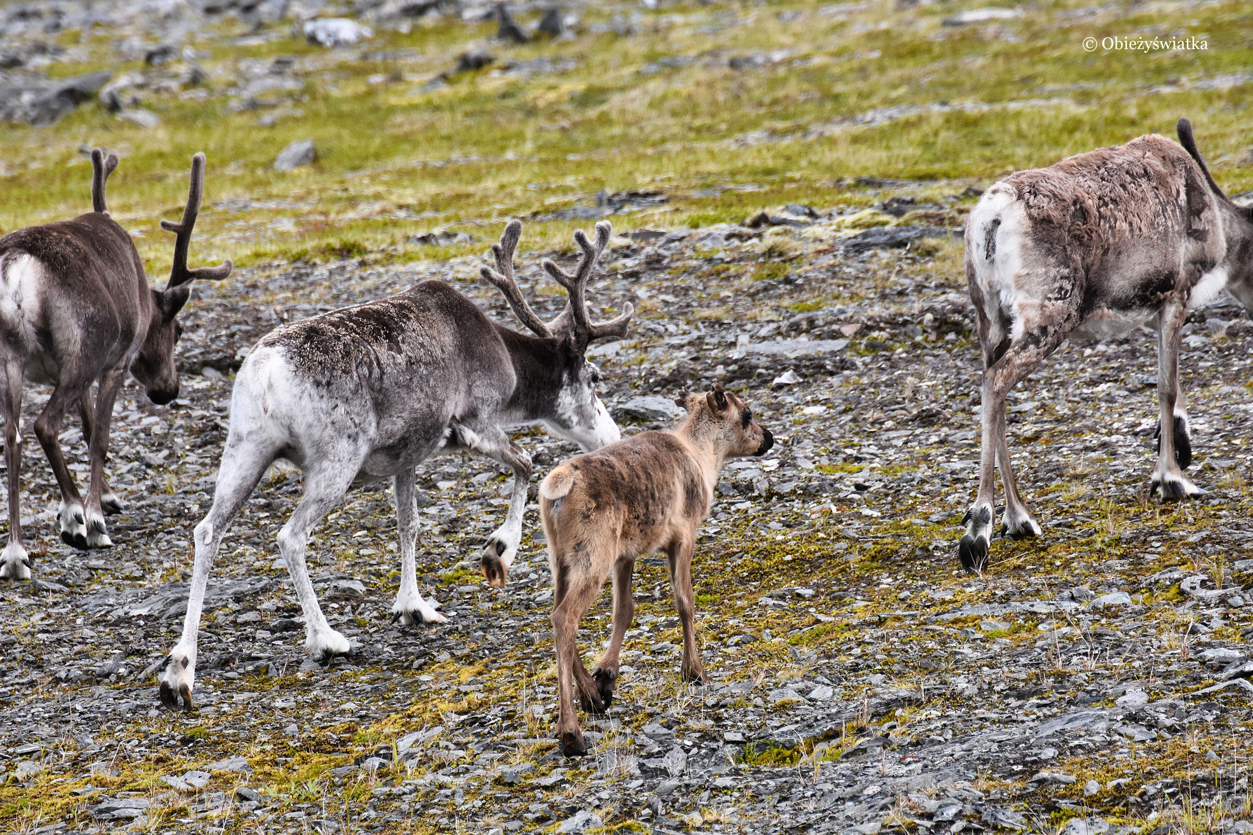 Renifery z potomkiem, Norwegia