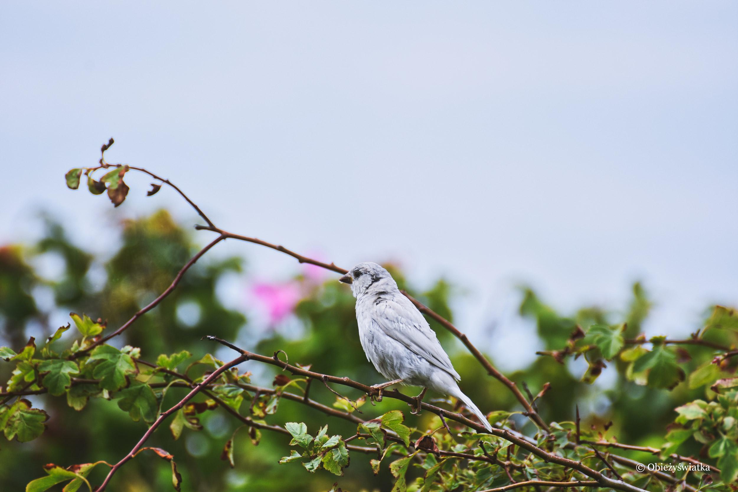 Biały mazurek na Wyspie Langeoog