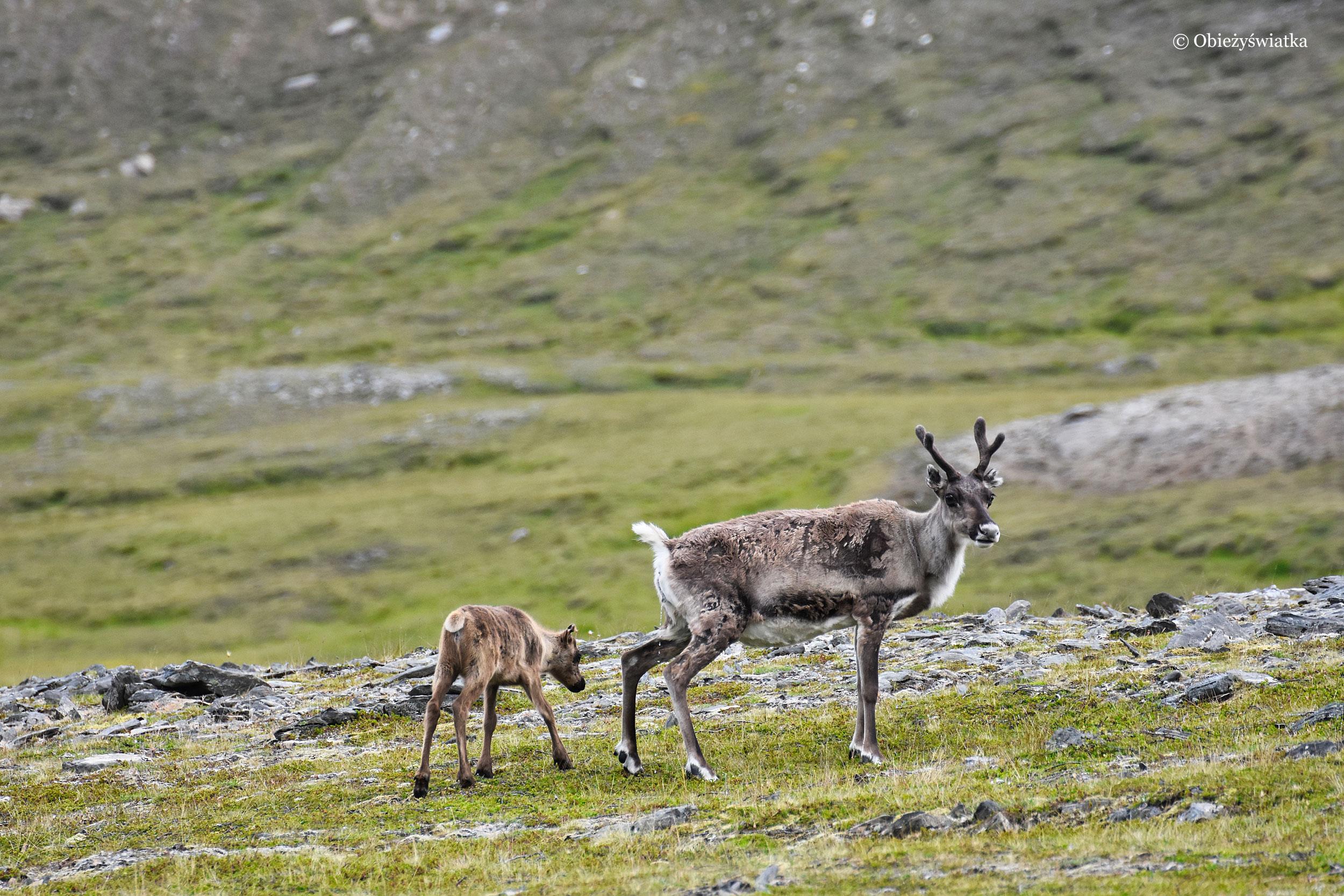 Mały renifer z mamą, Norwegia