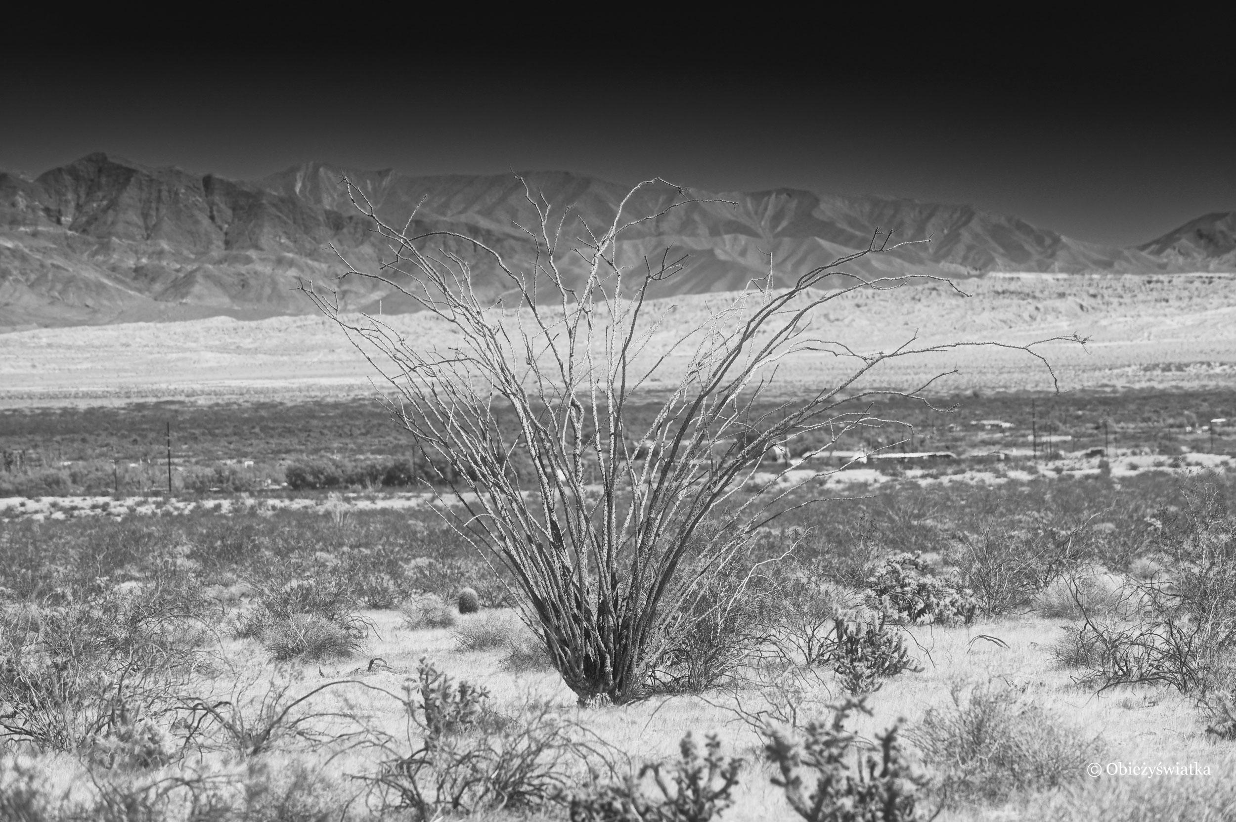 Rzadka Fouquieria splendens w naturze / Pustynia Sonora