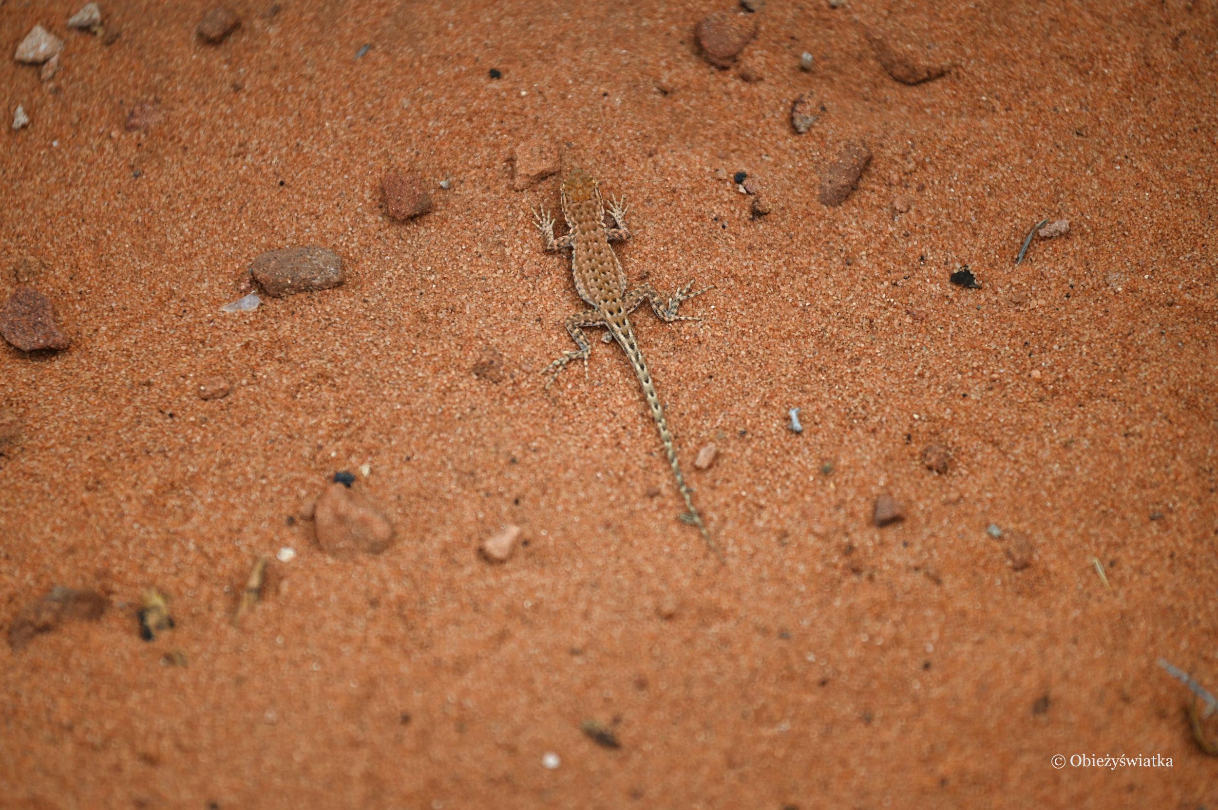 Znajdź mnie - jaszczurka totalnie wtopiona w pomarańczową ziemię Arizony