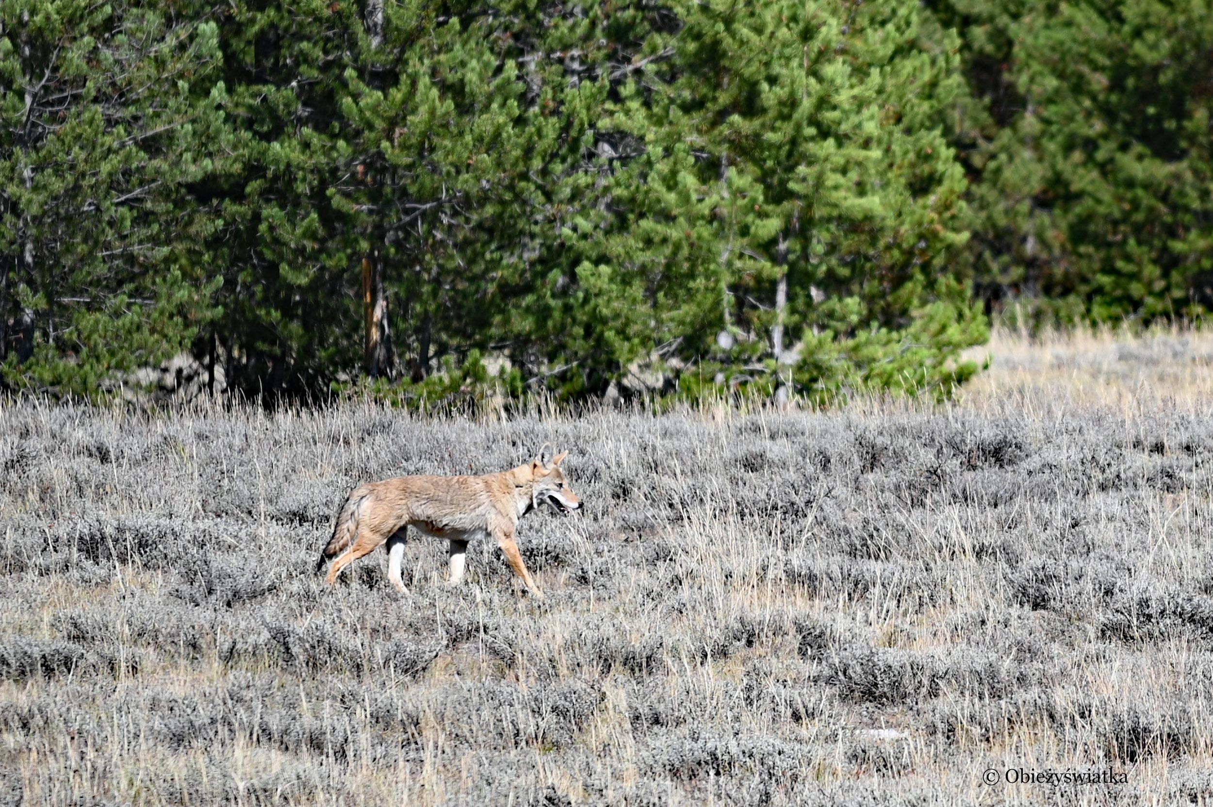 Kojot :)