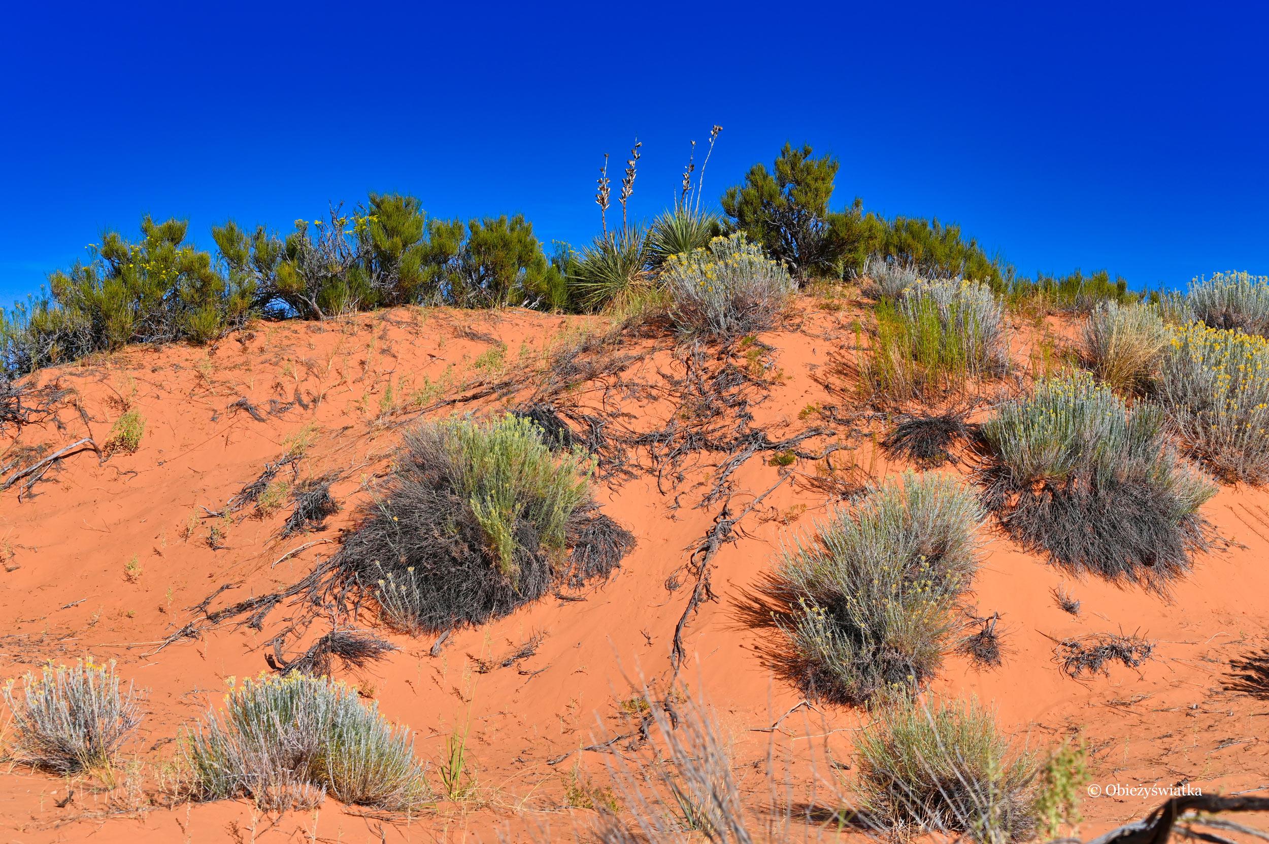 Błękit, pomarańcz i zieleń - Coral Pink Sand Dunes State Park, Utah