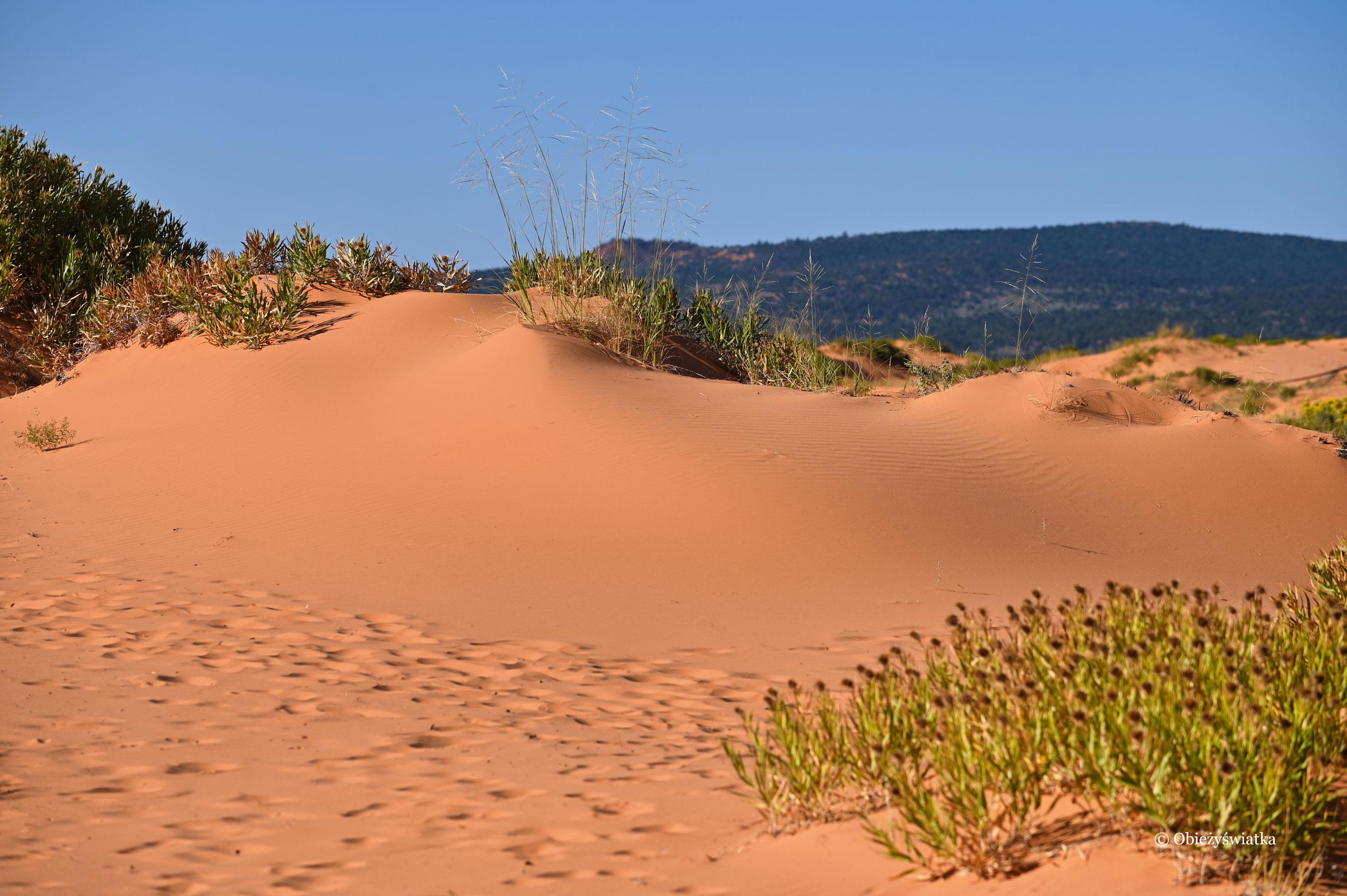 Na pomarańczowych wydmach można spotkać typowo pustynną roślinność, Coral Pink Sand Dunes State Park, Utah