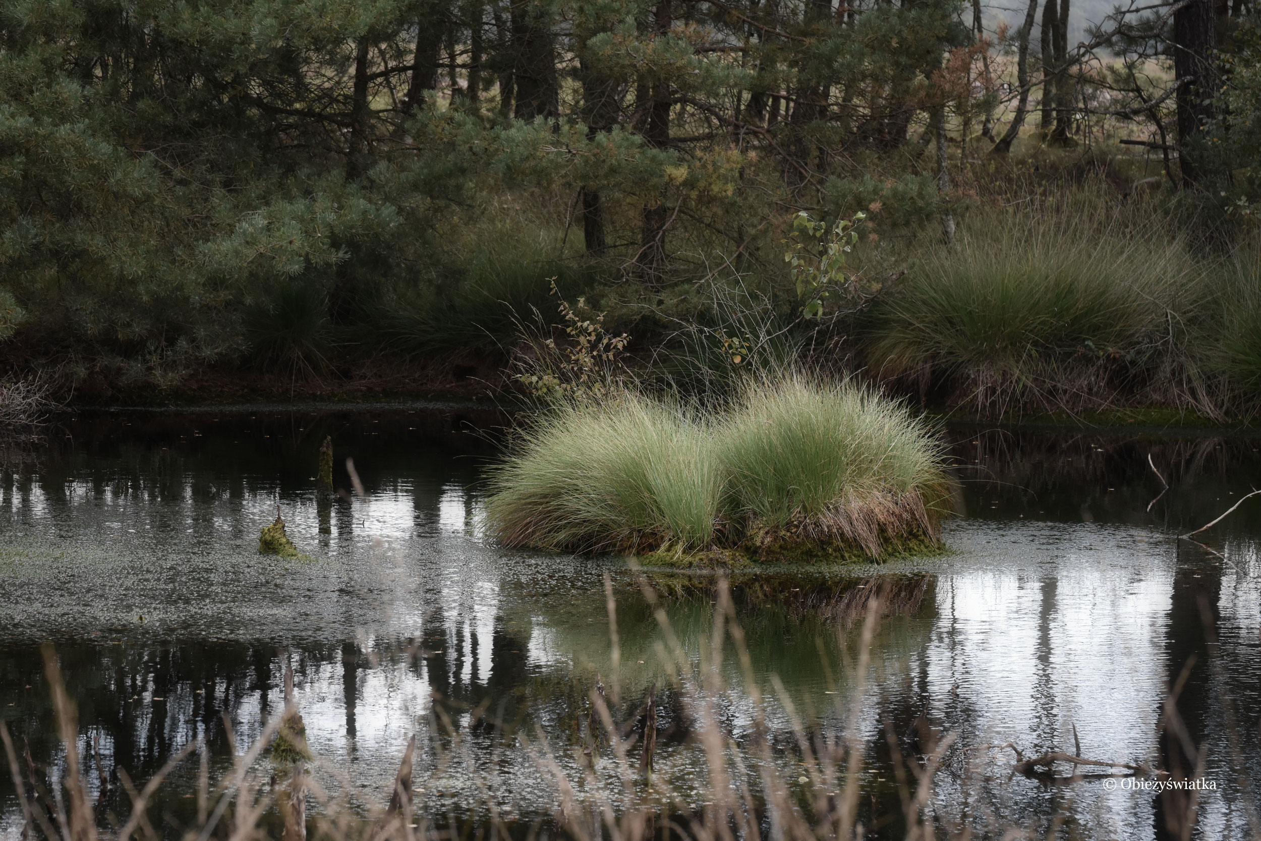 Pochmurny poranek na mokradłach, Lüneburger Heide, Niemcy