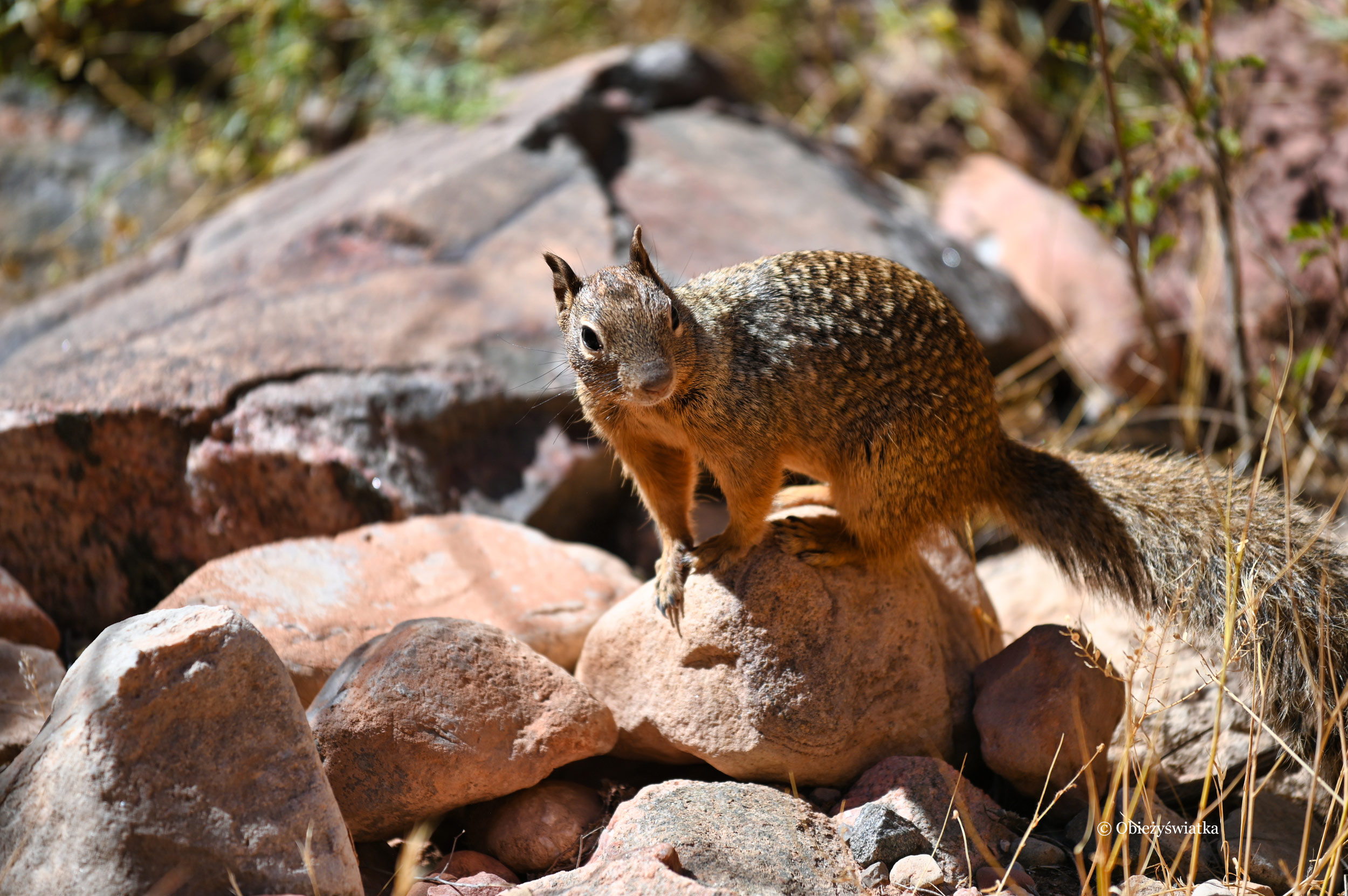 Susłouch skalny w Wielkim Kanionie - Rock Squirrel, Grand Canyon, Arizona, USA