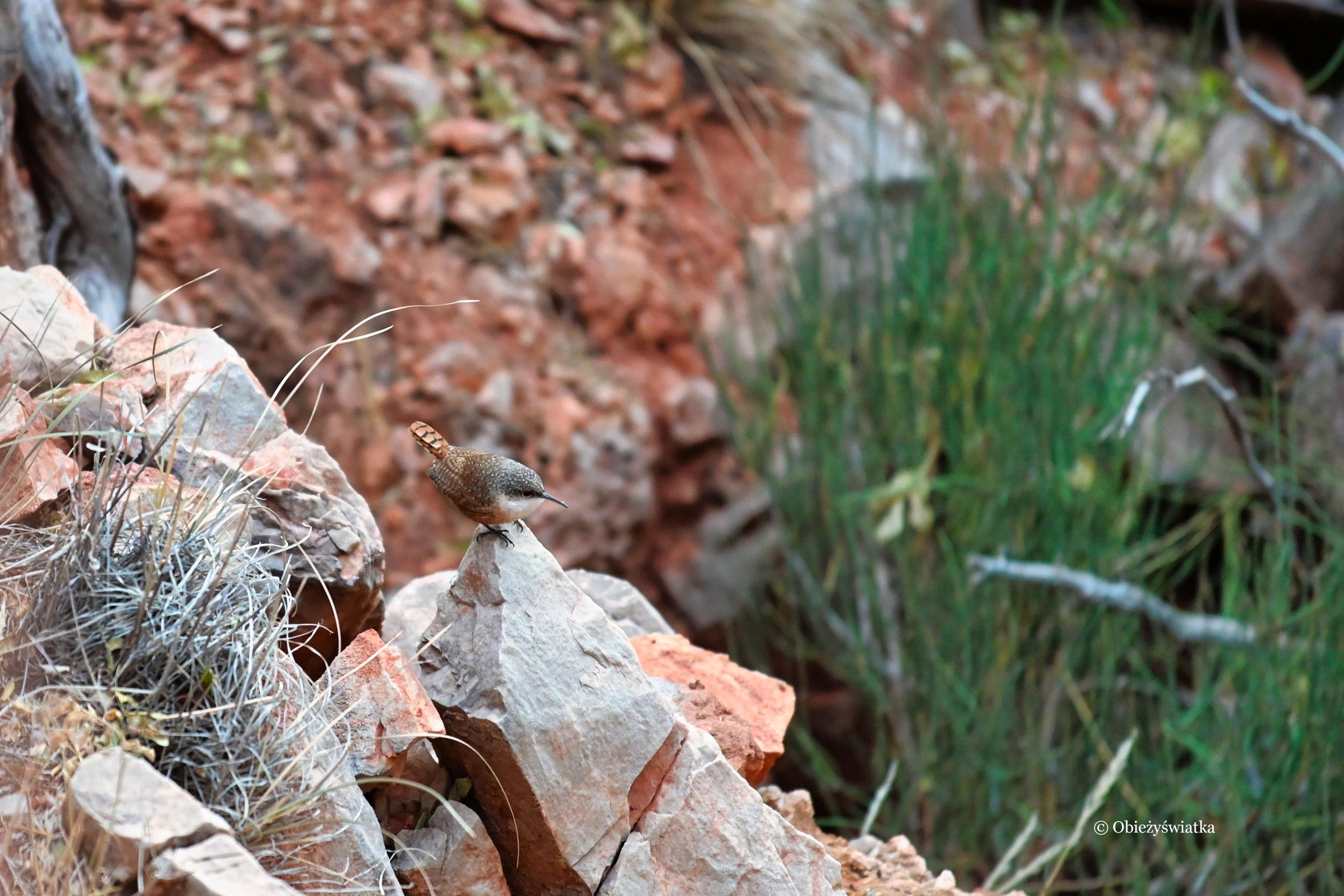 Skalik ostrodzioby w Wielkim Kanionie - Canyon Wren in The Grand Canyon, Arizona