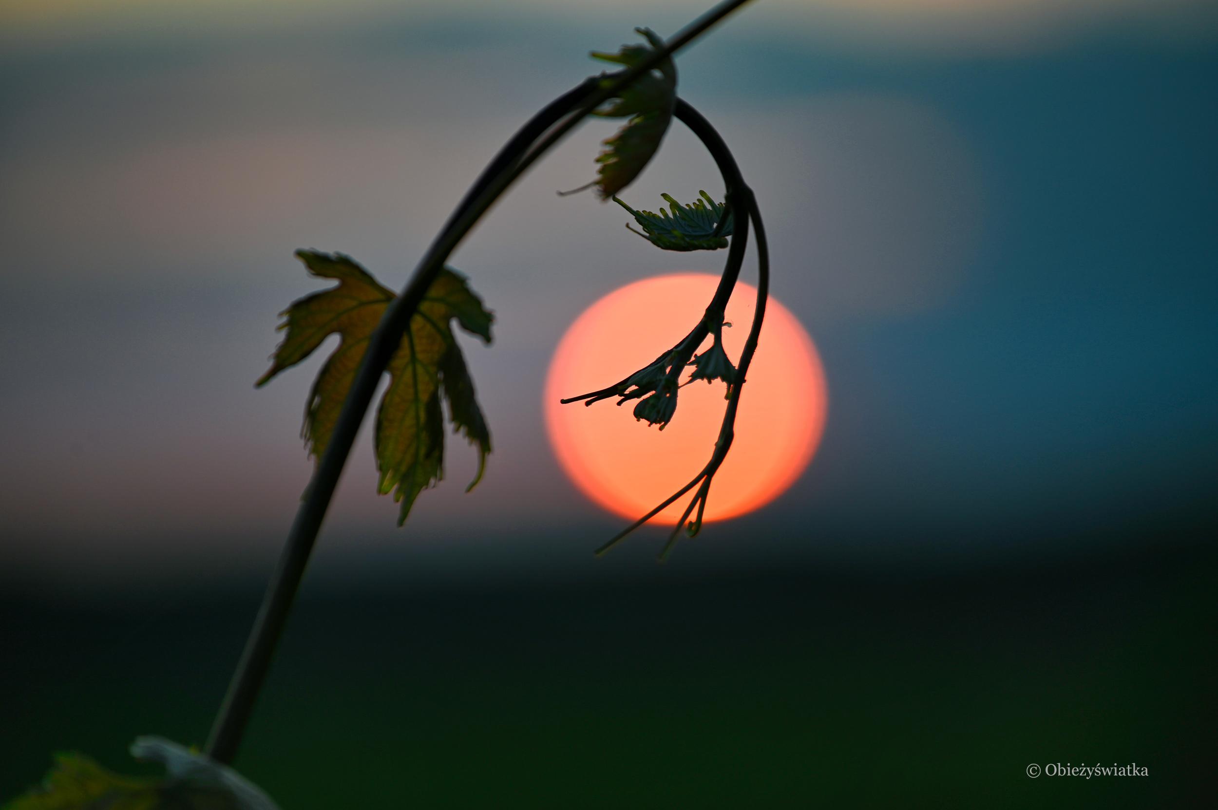 Winorośl o zachodzie słońca