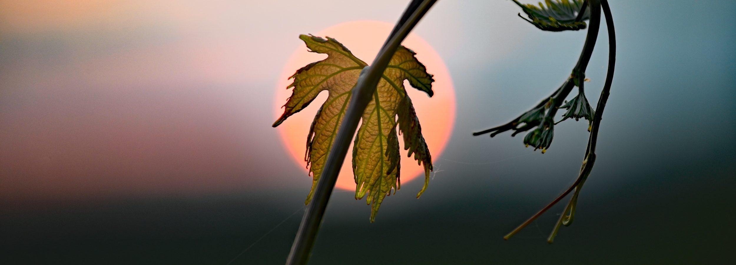 Winorośl i zachodzące słońce