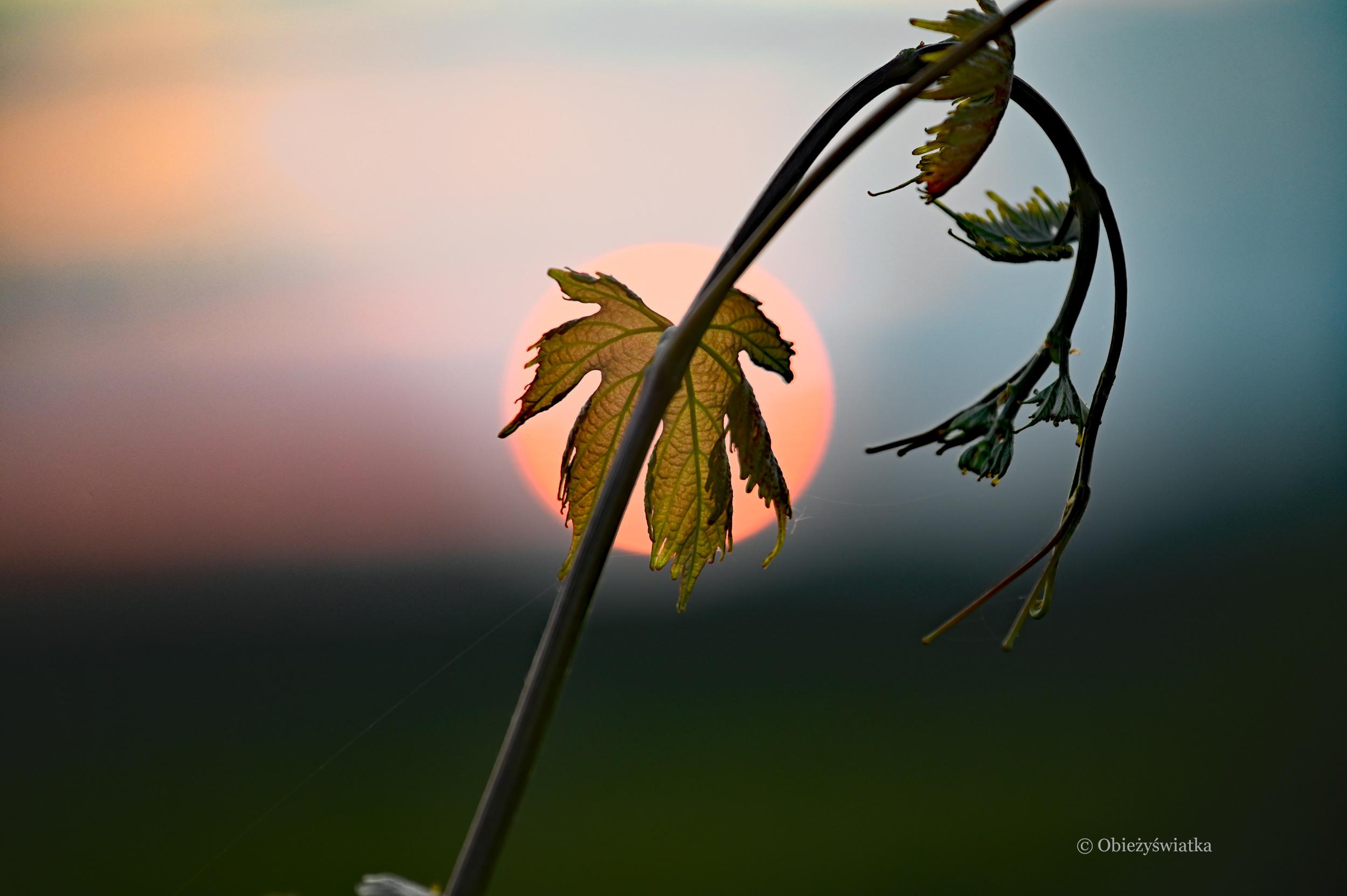 Młode wino o zachodzie słońca